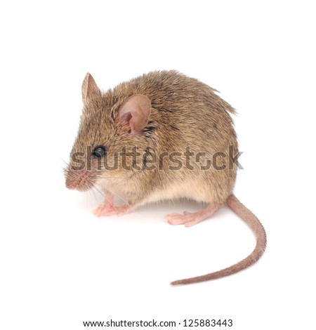 Wood mouse  isolated on a white background. - stock photo