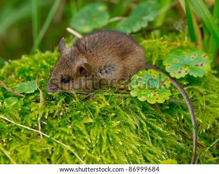 Wood mouse sitting in green moss - stock photo