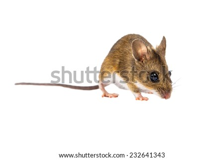 Wood mouse with cute brown eyes looking in the camera on white background - stock photo