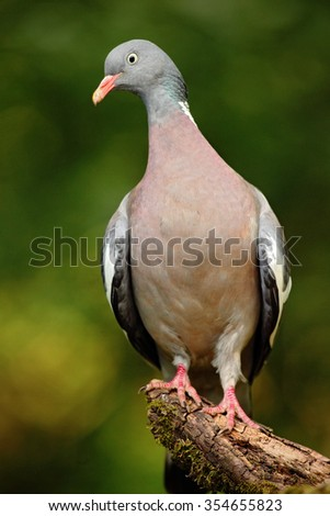 Wood Pigeon, Columba palumbus, forest bird in the nature habitat, green background, France - stock photo