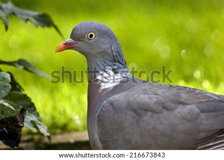 Wood Pigeon or Stock Dove. - stock photo