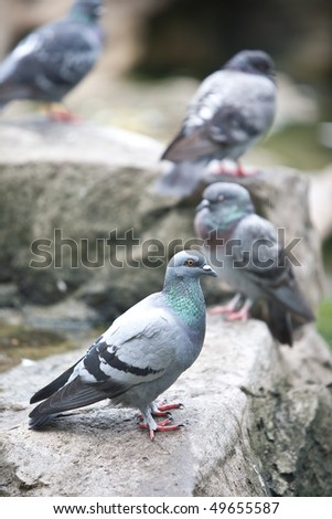 Wood pigeon resting on a rock in the park - stock photo