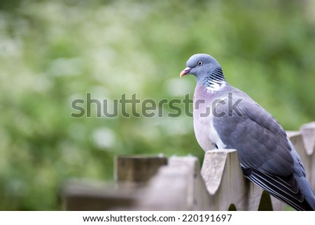 Wood Pigeon UK's largest and commonest pigeon - stock photo