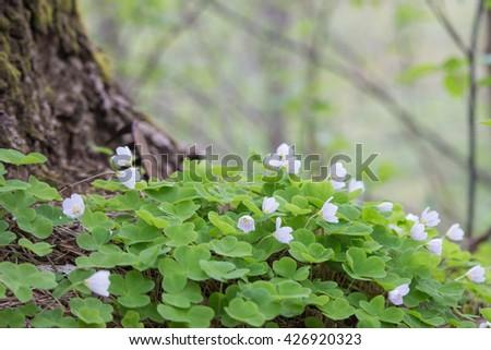 Wood-sorrel blooming. - stock photo