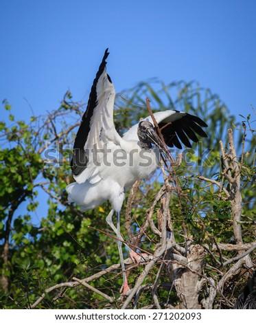 Wood stork builds nest - stock photo