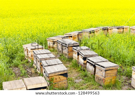 Wooden beehives on oilseed meadow - stock photo
