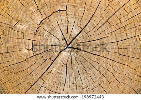 Wooden trunk texture. Cross section a tree. - stock photo