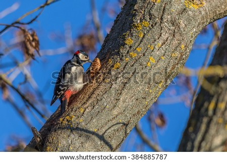 Woodpecker eating a cone on a bright winter day. - stock photo