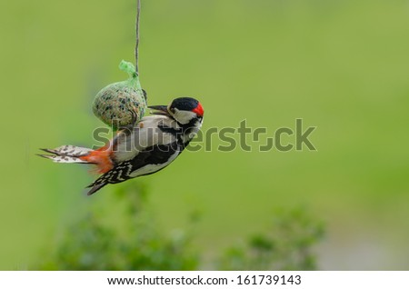 Woodpecker eating food from a fat ball in a rope - stock photo