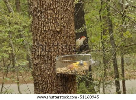 Woodpecker on tree above feeder - stock photo