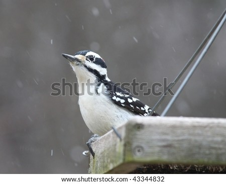 woodpecker waiting for food on a snowy day - stock photo