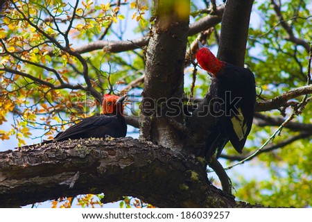 Woodpeckers giganticus - stock photo
