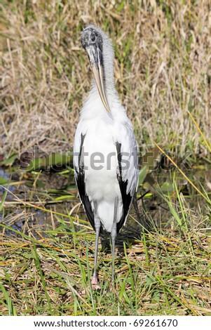 Woodstork (Mycteria americana)  in the Florida Everglades - stock photo