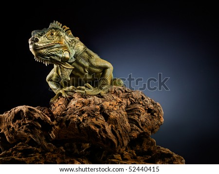 Woody Dragon. Portrait of green iguana on twisted tree branch, black background. - stock photo