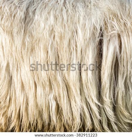 Wool background. Detail of ram fur - stock photo