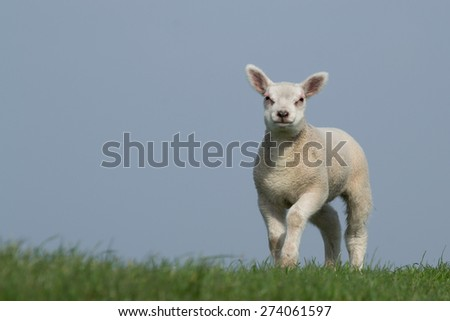Woolly lamb on green grass against blue sky facing the camera - stock photo