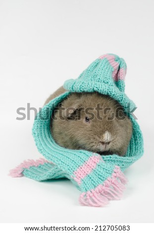 woolly pig (curly, slate blue) - stock photo