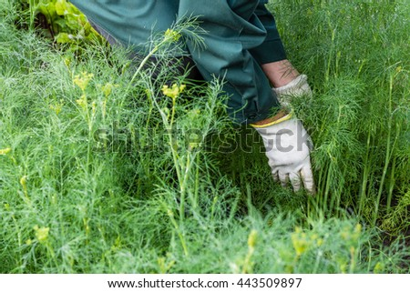 Worker is harvesting dill in the garden, vegetable  beds in the farmerâ??s farmland,  ecological agriculture for producing healthy food  concept - stock photo