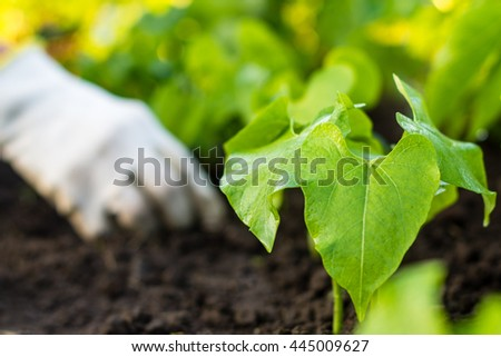Worker is weeding bean plants in the garden,  garden beds in the farmerâ??s farmland,  ecological agriculture for producing healthy food  concept - stock photo
