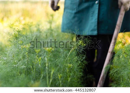 Worker is weeding dills in the garden,  garden beds of the herb plants in the farmerâ??s farmland,  ecological agriculture for producing healthy food concept - stock photo