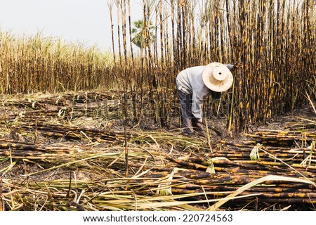 workers harvesting sugarcane in farm - stock photo
