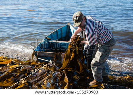 Workers unload seaweed kelp from the boat to shore. Russia. Japan sea. - stock photo