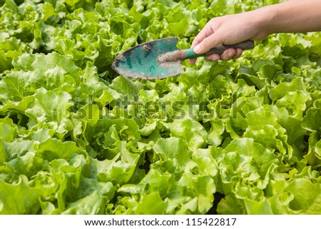 working in the lettuce field - stock photo