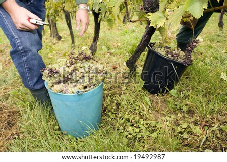working in vineyards - stock photo