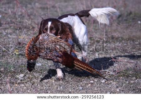 working type english springer spaniel carrying a pheasant - stock photo