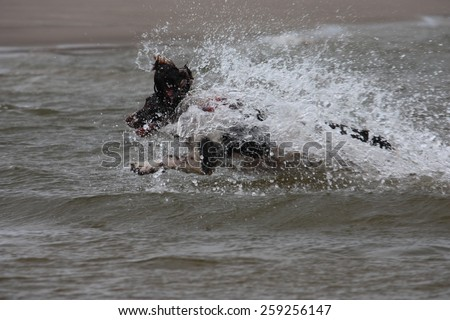 working type english springer spaniel pet gundog jumping into water - stock photo