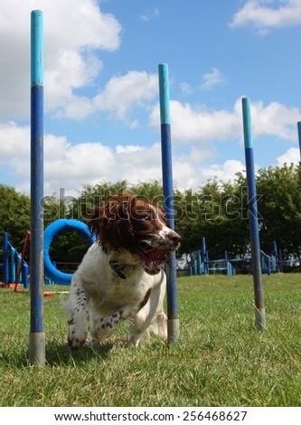 working type english springer spaniel pet gundog weaving through agility weave poles - stock photo
