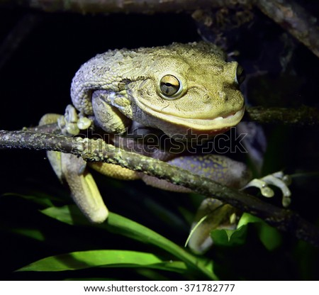 World's Biggest Cuban Tree Frog at night .The Cuban tree frog ( Osteopilus septentrionalis ) . Cuba in natural habitat - stock photo
