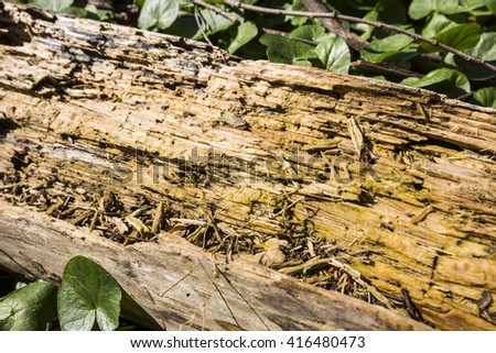 Wormy tree trunk. Tree infected by bugs. bark tree eaten by wood worm. Close-up with green leaves - stock photo