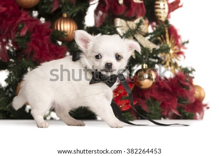 Worried Chihuahua puppy dressed with a bow, walking in front of a Christmas tree (2 months old) - stock photo