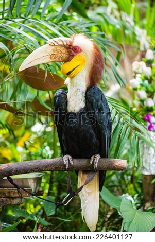 Wreathed Hornbill - stock photo