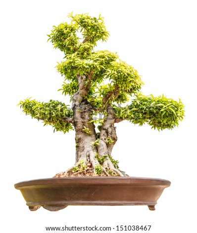 Wrightia religiosa as bonsai tree isolated on white - stock photo