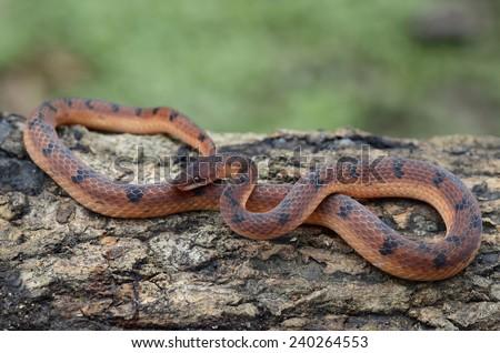 Wucherer's Ground Snake (Xenopholis scalaris) - stock photo