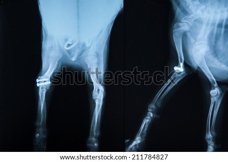 x-ray of the broken leg of beagle dog after jointing by screwing - stock photo