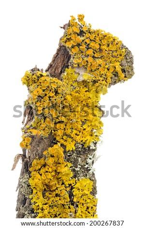 Xanthoria Parietina (Golden Shield Lichen) Close-Up on Tree Bark - stock photo