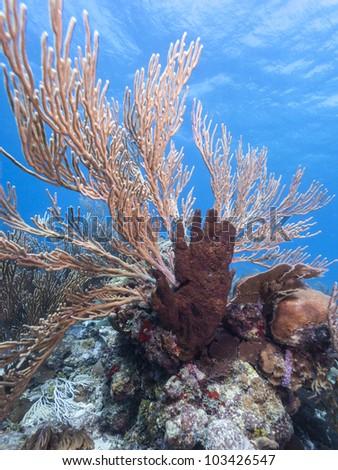 Xestospongia rosariensis sponge and soft corals off the coast of Roatan Honduras - stock photo