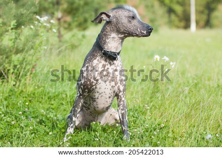 Xoloitzcuintle - hairless mexican dog portrait looking aside - stock photo