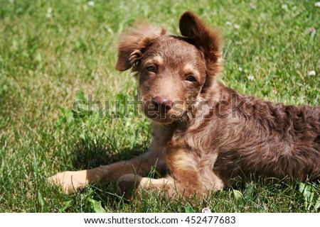 Xoloitzcuintli-coated puppy - stock photo