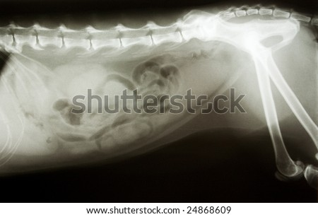 xray of a dog - stock photo