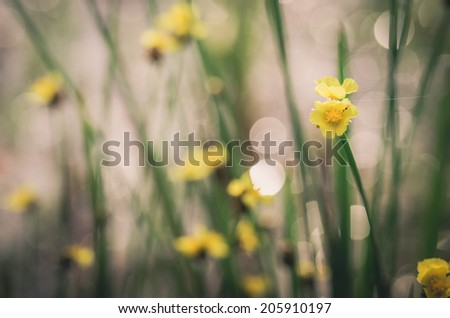 Xyris yellow flowers or Xyridaceae wild flower in Thailand vintage - stock photo