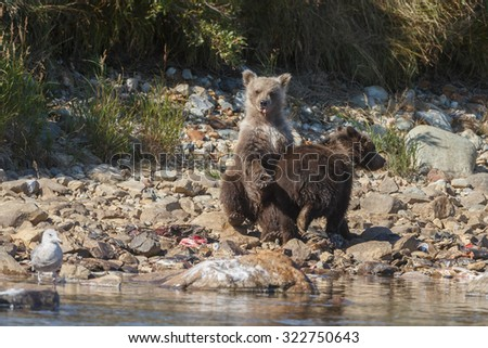 Y+Two cute brown bear cubs sitting at the river side - stock photo