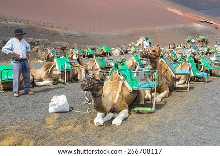 YAIZA, SPAIN - OCT 16: Camels in Timanfaya National Park wait for tourists on October 16, 2014 in Yaiza, Lanzarote (Spain) - stock photo