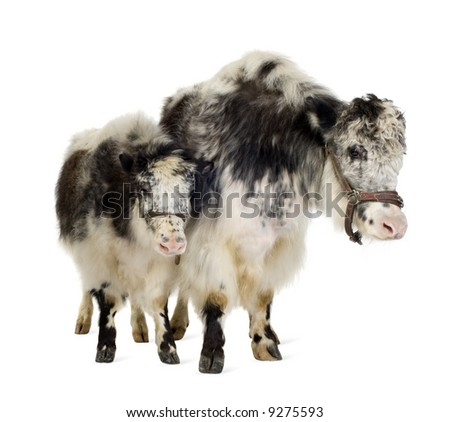 Yak and her calf in front of a white background - stock photo