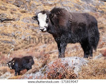 yak calf . Himalayas, Langtnag, Nepal - stock photo