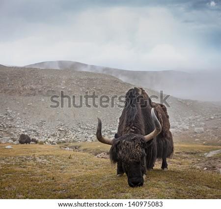 Yak grazing in Himalayas. Ladakh, India - stock photo