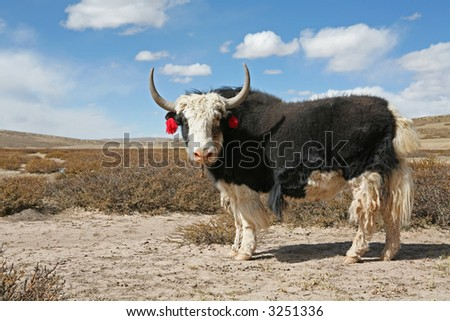 Yak in a desert of the Tibetan plateau. - stock photo